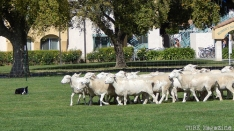 Sheep-herding.
